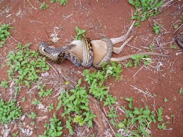 snakeandroo1_1.jpg