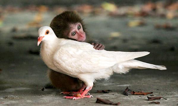 El amor entre un mono y la paloma