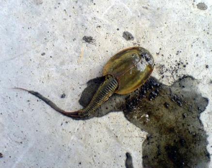 Capturado en Rusia un pez prehistórico