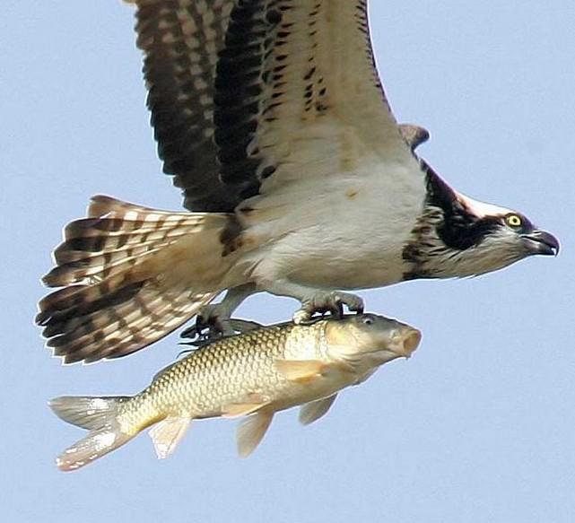 El pez volador