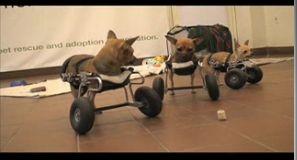 Prótesis para perros sin patas