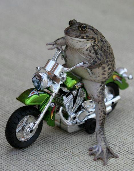 La rana motorista