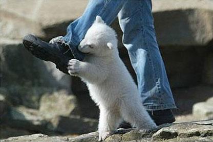 Fotografías explícitas de un ataque de un oso blanco