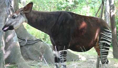 La mezcla entre una jirafa y una cebra. ¿Jirabra o Cebrafa?