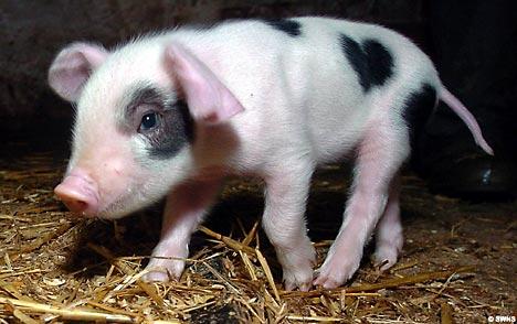 Nace un cerdo con corazones en su piel