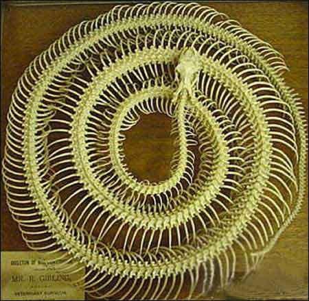 Esqueletos de serpientes