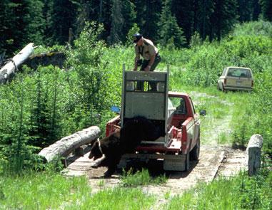 Razones para no atrapar un oso