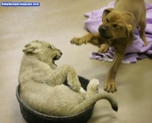 La amistad verdadera entre un perro y un tigre