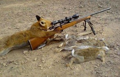 Zorro moderno cazando