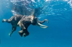 Un elefante nadando
