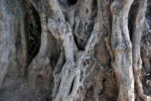 El árbol presidente el más grande de la Tierra