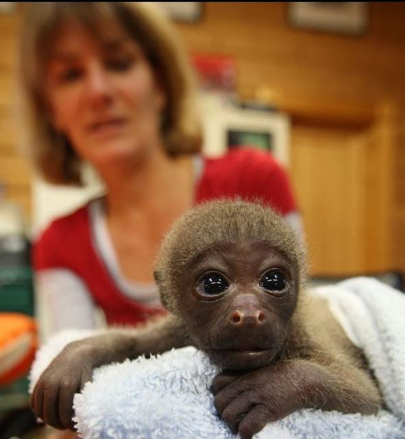 Mono bebe mirando