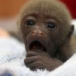 Mono bebe bostezando