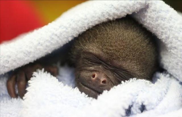 Mono bebe durmiendo