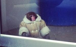 Un mono suelto en una tienda de Ikea