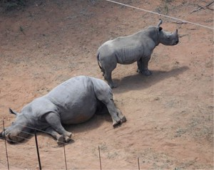 Un rinoceronte insólito salva a su cría