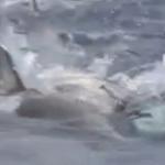 Delfines ayudan a un compañero herido
