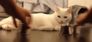 El gato que adivina donde está la bolita