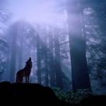 curiosidades sobre los lobos