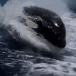 Ballenas asesinas en acción