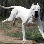 Top 10 razas de perros prohibidas legalmente