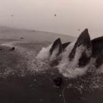 Buzos a punto de ser engullidos por ballenas