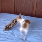 La  diversión De los perros y su muñeco de trapo es algo novedoso
