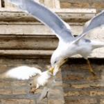 Las palomas del Papa atacadas