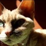 Las 10 razas de gatos únicas en el mundo