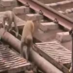 Mono reviviendo a otro que se había electrocutado