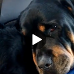 Conmovedora historia de Rottweiler no deja a su hermano muerto