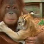 El orangután y los tres tigres, más que tierno