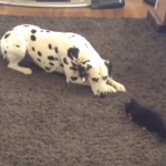 Rescatado gatico juega con dálmata