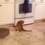 Cómico gato intenta atrapar su cola