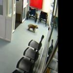 Koala de visita en hospital de Australia
