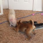 Épica batalla entre un chihuahua y un cerdito