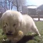 Golden retriever ataca cámara mientras juega