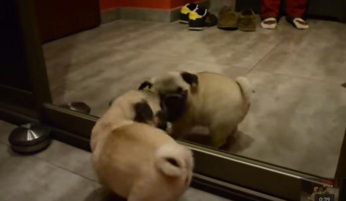 Pug juega con su reflejo en el espejo